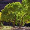 backlit cottonwoods