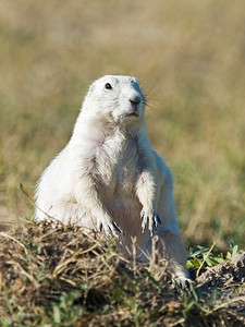 hands down white prairie dog