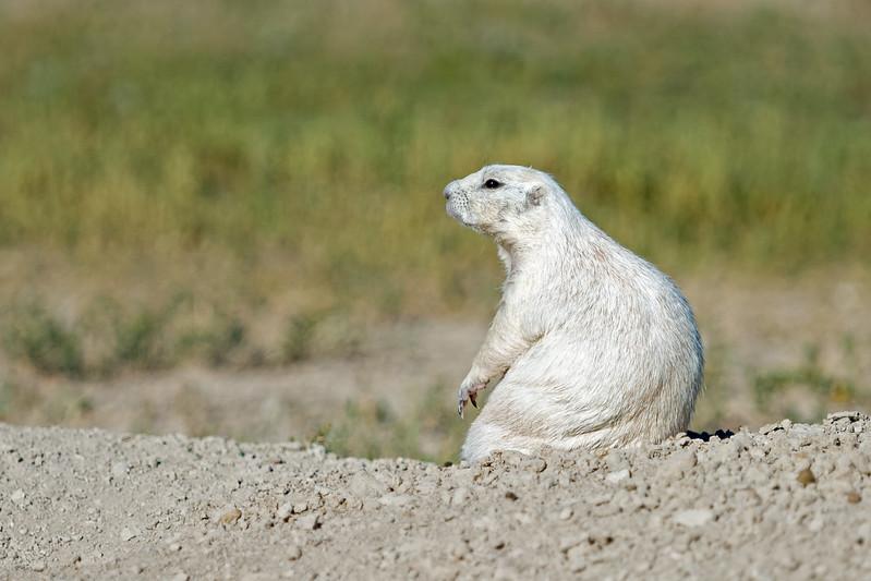 profile of a white prairie dog