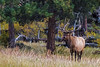 elk licking lips