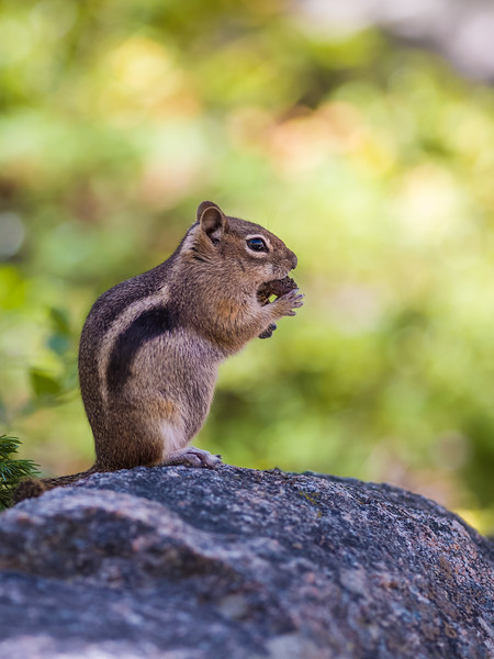 profile of a golden-mantled ground squirrel
