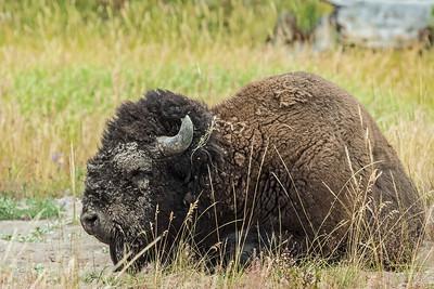 muddy buffalo Yellowstone