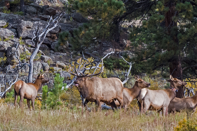 several elk one with radio collar