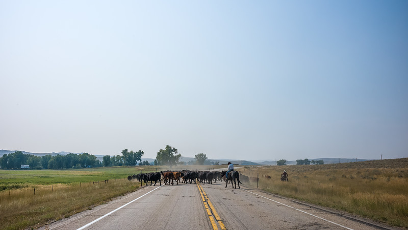 herd of cows on road with cowboys