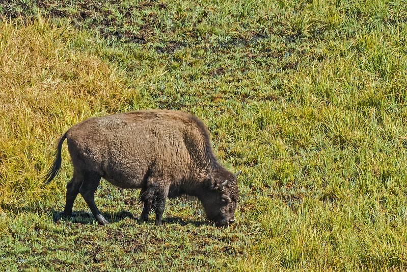 scruffy young buffalo