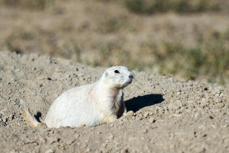 white prairie dog emerging from hole