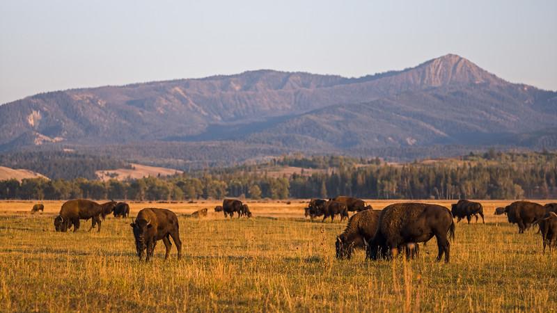 buffalo Grand Teton sunset