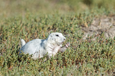 white prairie dog nibbling flower Prairie Homestead SD