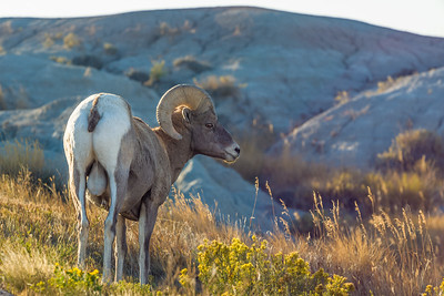 Bighorn sheep ram in Badlands