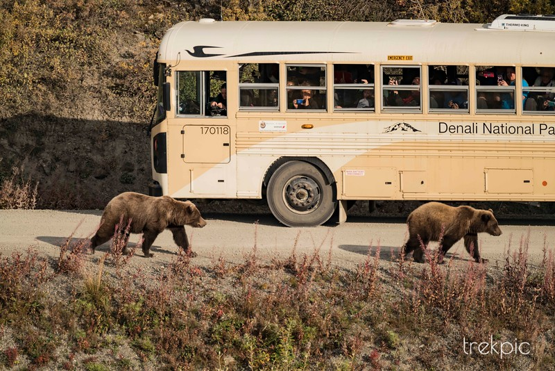 Bears and a Bus