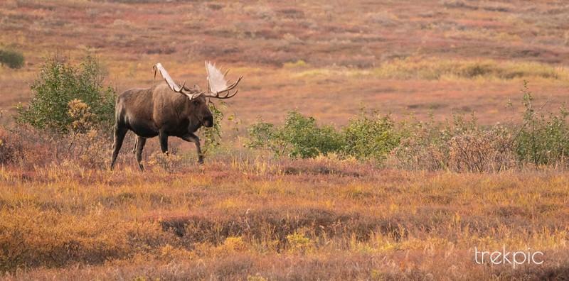 Approaching Bull