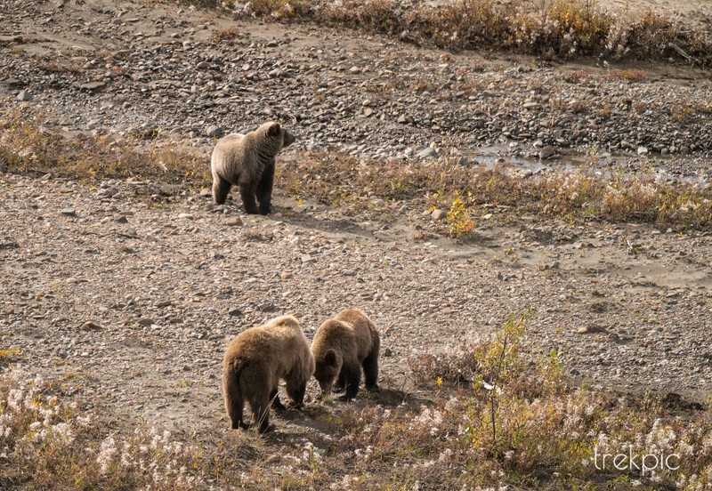 First Bears - Grizzlies on a River Bank