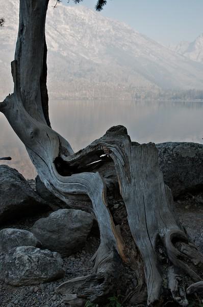 Twisted tree at Jenny Lake