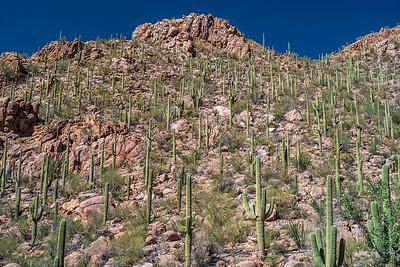 Saguaro madness