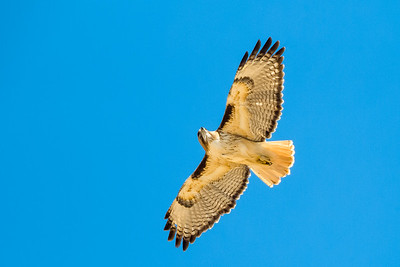 red-tailed hawk in flight Arizona
