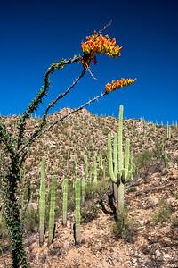 ocotilo & saguaro