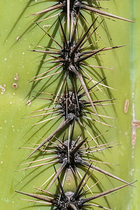saguaro spines