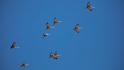 9 Sandhill Cranes against blue sky