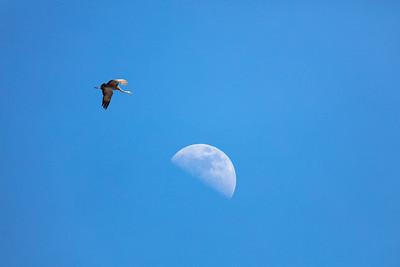 crane flying over the moon