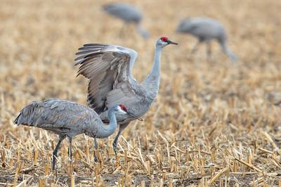 two Sandhill Cranes in corn stubble