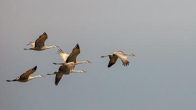 four flying Sandhill Cranes