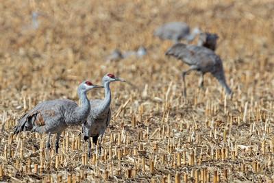 pair of Sandhill Cranes in corn stubble