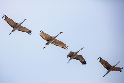 four backlit sandhill cranes in flight