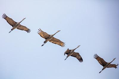 four backlit sandhill cranes in flight