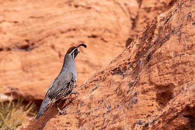 climbing California quail