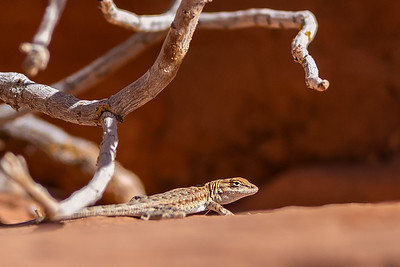 small lizard Valley of Fire