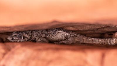 chuckwalla lizard wedged in crack