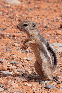 white-tailed antelope ground squirrel standing