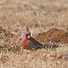 pyrrhuloxia desert cardinal