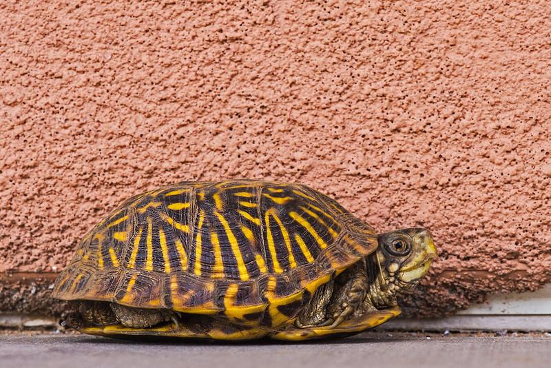 desert box turtle and adobe