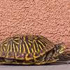 desert box turtle and adobe
