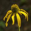 wild yellow cornflower