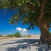 cottonwood tree in San Ildefonso Pueblo