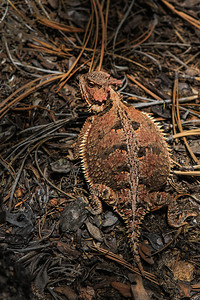 large horned lizard on forest floor