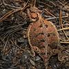 large horned lizard on forest floor