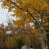 Aspens and rock, fall