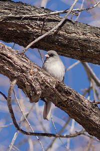 dark-eyed junco gray-headed variety in tree