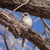 dark-eyed junco gray-headed variety in tree