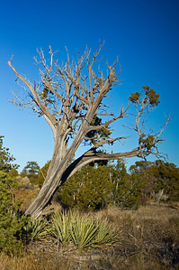 dead tree Bandelier