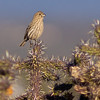 finch on cactus