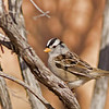 white-crowned sparrow at Ojo Caliente