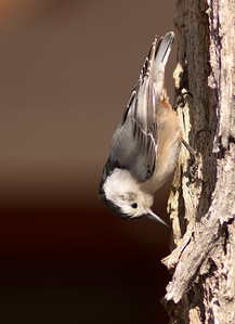 inverted nuthatch