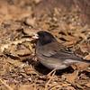 Oregon variety dark-eyed junco