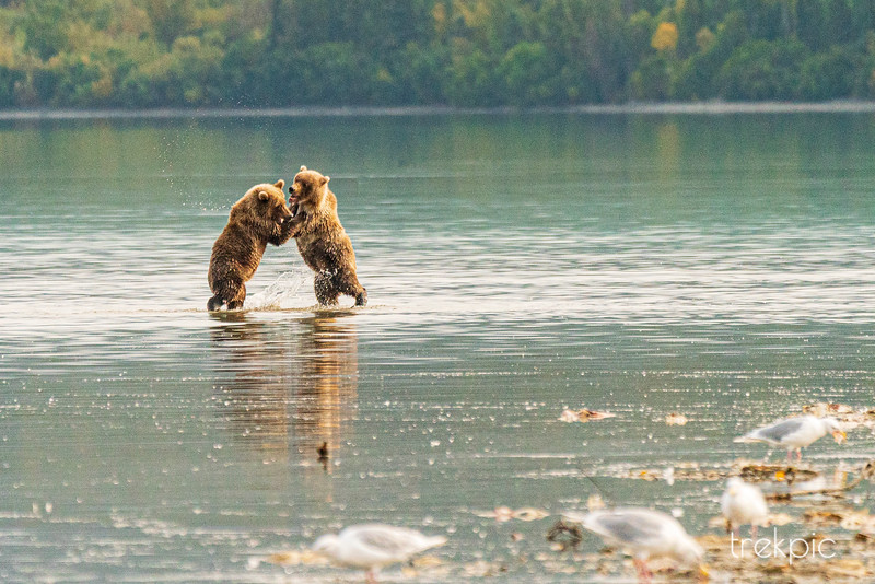 Grizzly Cub Water Play