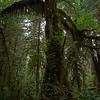 Mossy Giant