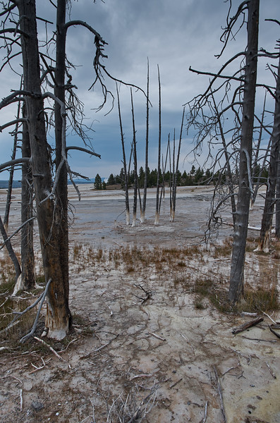 Lodgepole Pines at the Lower Geyser Basin